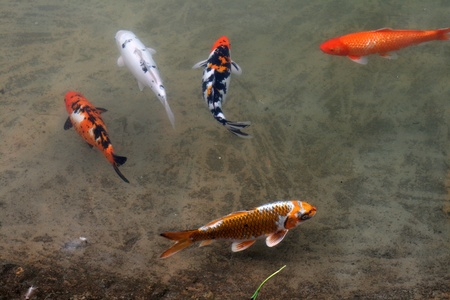 Decorative carp or koi in a pond Stock Photo
