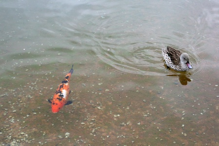 Duck and koi photo