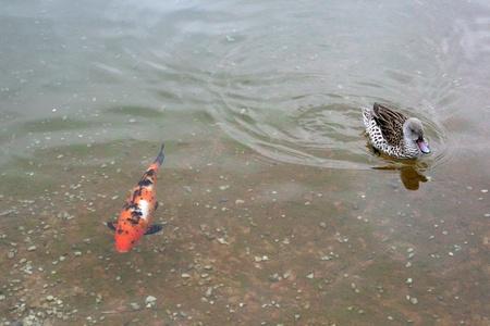 Duck and koi photo