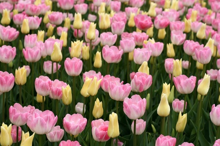 agricultural essence: Tulips in a spring garden