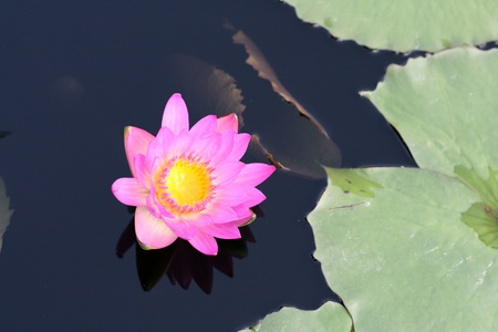 Water lily in a pond Stock Photo - 11994767