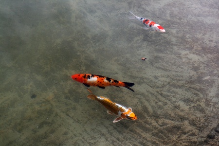 Decorative carps or koi in a pond Stock Photo - 12009726