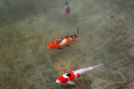 Decorative carps or koi in a pond Stock Photo - 12009725