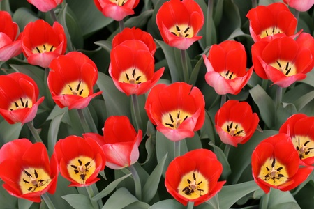 Tulips in a spring garden photo