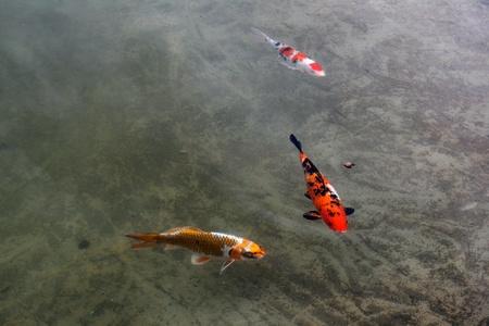 Decorative carps or koi in a pond