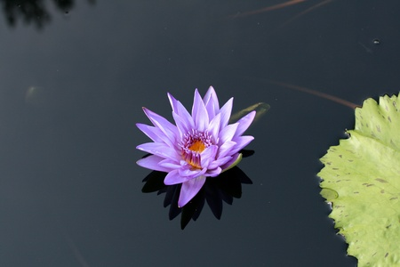 Water lily in a pond Stock Photo - 12324941