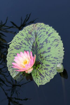 Water lily in a pond Stock Photo - 12324949
