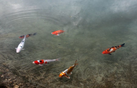 Decorative carps or koi in a pond Stock Photo - 13170859