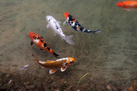 Decorative carps or koi in a pond Stock Photo - 13170884