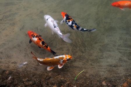 Decorative carps or koi in a pond photo