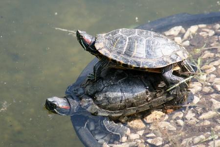 Turtles Stock Photo - 13170827