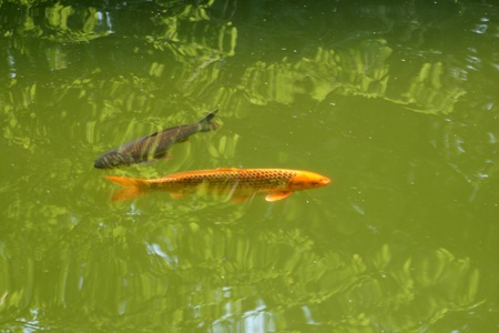 Decorative carps or koi in a pond photo