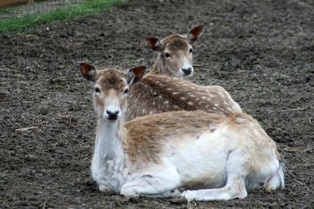Fallow deer Stock Photo - 13353164