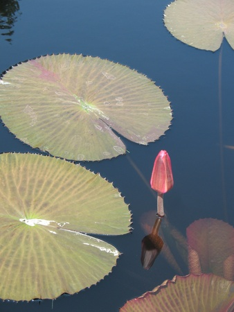 Water lily in a pond Stock Photo - 13396499