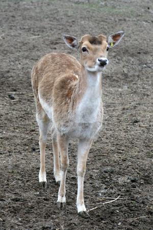 Fallow deer Stock Photo - 13488907