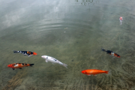 Decorative carps or koi in a pond Stock Photo - 13602928