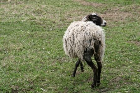 Sheep at farm photo