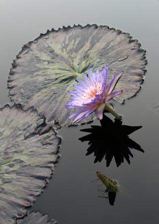 Water lily in a pond Stock Photo - 13758448