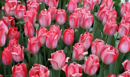 Tulips in a spring garden Stock Photo - 13768531