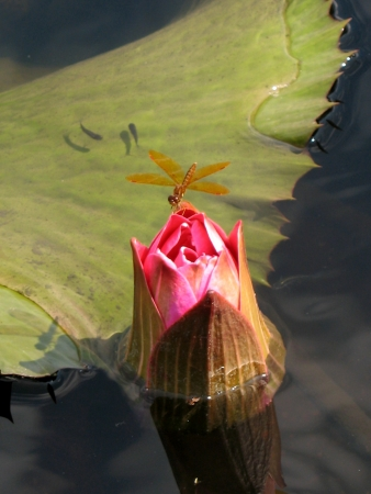 Water lily in a pond photo
