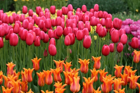 Tulips in a spring garden Stock Photo - 14235905