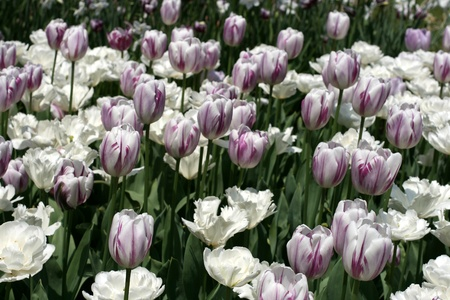 bulb and stem vegetables: Tulips in a spring garden