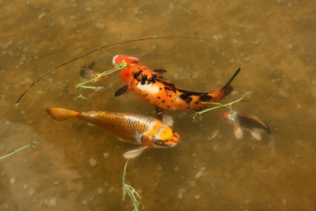 Decorative carps or koi in a pond Stock Photo - 14449513