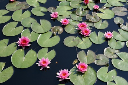 Water lilies in a pond photo
