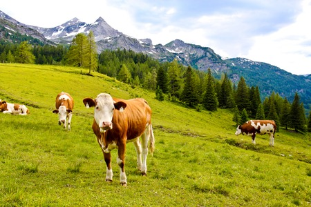 cows on an alpine meadow in Austria