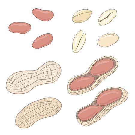 nut shell: Peanuts. Set of peanuts, whole, shelled and blanched. Vector illustration.