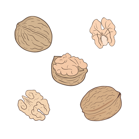 Walnuts. Set of walnuts, whole and shelled. Vector illustration.