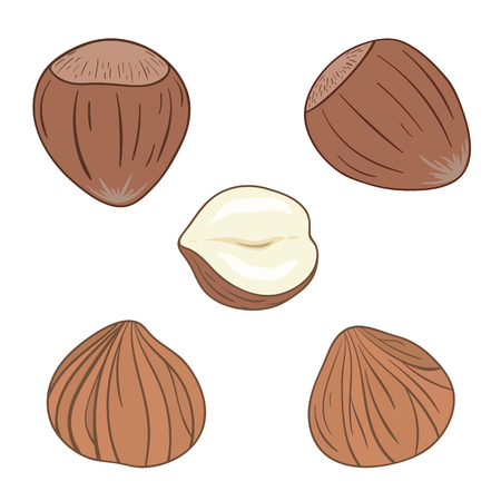 Hazelnuts. Set of hazelnuts, whole and shelled. Vector illustration.