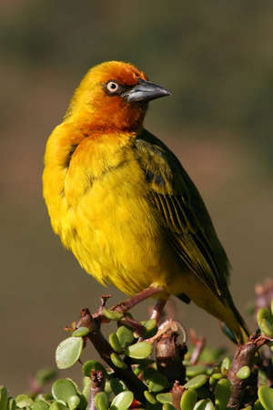 Cape Weaver in the Addo morning sun photo