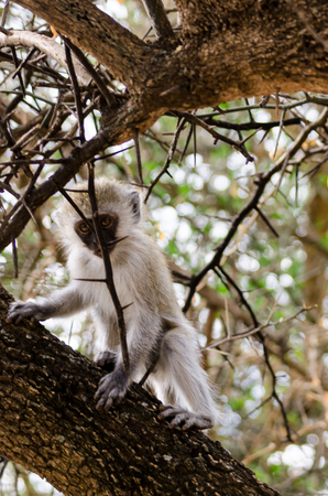 sopa: A baby vervet monkey in a tree outside our room at the Serengeti Sopa Lodge.