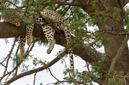 encountered: Shortly after we saw cheetahs, we encountered a tree with three leopards in it on our first afternoon in Serengeti National Park.