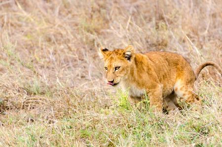 A lion cub, ready to pounce. 版權商用圖片