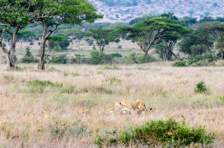 A mother lion with cubs in Serengeti National Park.