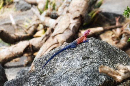 mwanza: A male mwanza flat-headed rock agama, found at the entrance station for Serengeti National Park. The males of the species have this bright, multi-hued coloration. The females are much plainer; just a grayish brown.