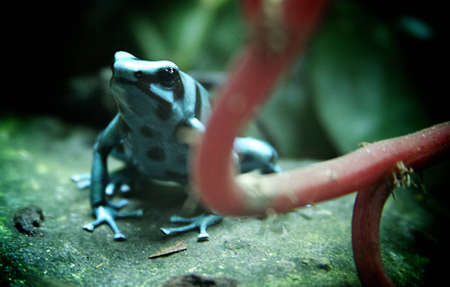 An aqua colored frog perched on a stone in its natural habitat.
