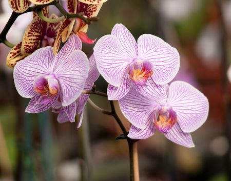 White orchid with purple veins