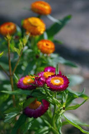 Everlasting flower, strawflower, immortelle