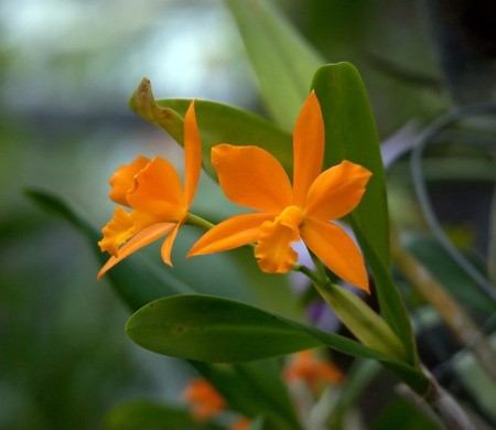 Orange orchid with green background Stock Photo