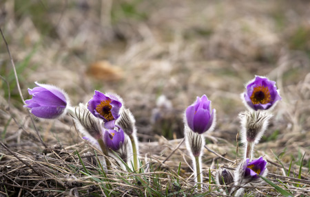 Group of purple pasque flowers on meadow photo