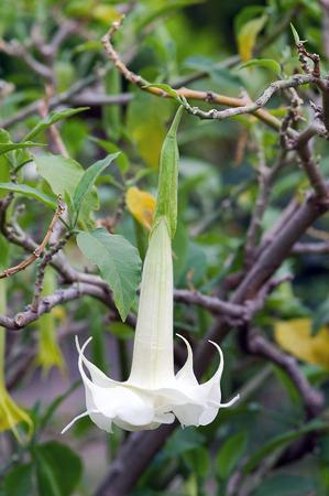 Brugmansia Arborea alias Angel photo