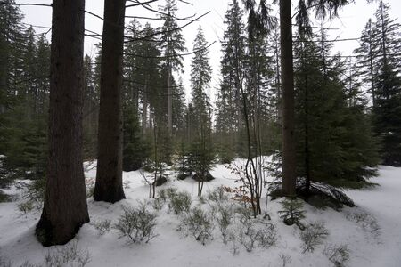 Dark snow forest, Jeseniky, Czech republic Stock Photo