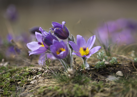 Pasque Flowers in the Springtime