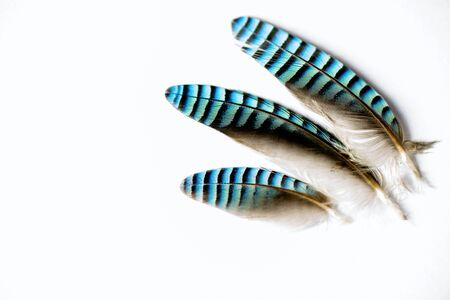 Three jay feathers on white background.
