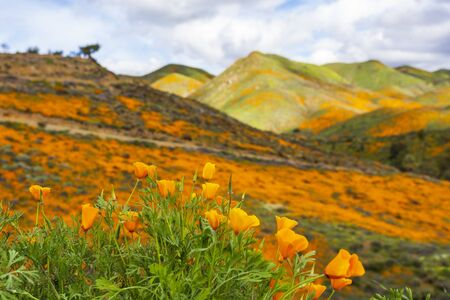 California poppies in Walker Canyon in Lake Elsinore
