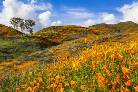 California poppies in Walker Canyon in Lake Elsinore