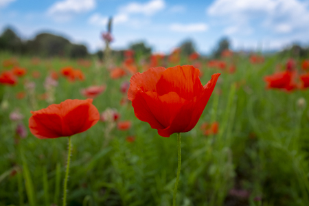 Red corn poppies, Papaver rhoeas, growing wild in an agricultural field in France symbolic of fallen soldiers in World War 1